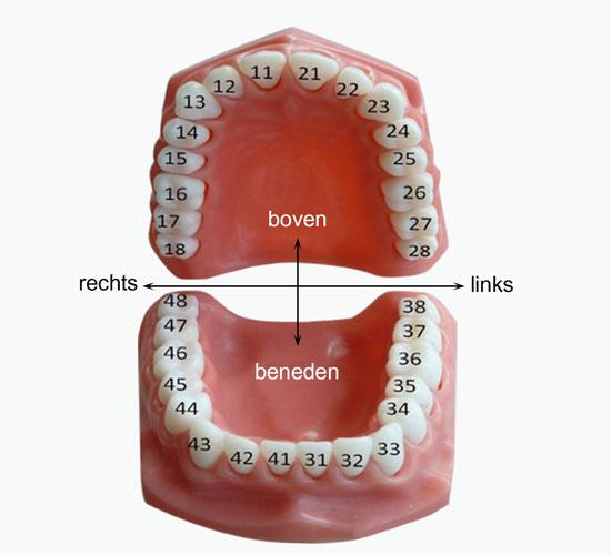 Afbeelding met tanden